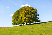 Landscape with copse of common beech trees blue sky on grassy green slope, Salisbury Plain, Wiltshire, England, UK