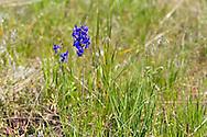 Upland Larkspur (Delphinium nuttallianum) flowering in a field in  Kalamalka Lake Provincial Park near Vernon, British Columbia, Canada
