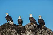 Bald ealges on rock outcrop in Alaska