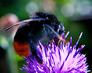This is a close up macro photograph of the common worker bumble bee found in the UK and Europe. This variety has a black hairy body with an orange strip on its tail and belongs to the Bombus Lapidarius family of bees. It is most likely a worker bee and is seen on the head of a bright purple flower.