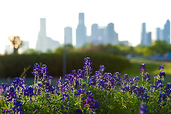 Bluebonnets with the Houston, Texas skyline in the background from Memorial Drive.