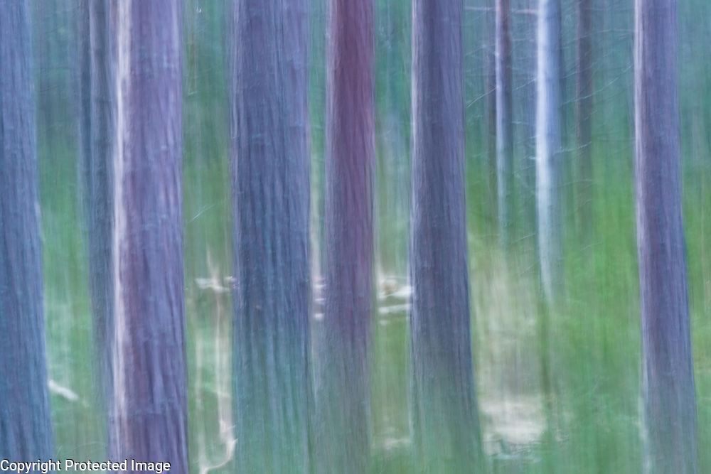 A drag shot of some trees in the forest of the Cairngorms National Park