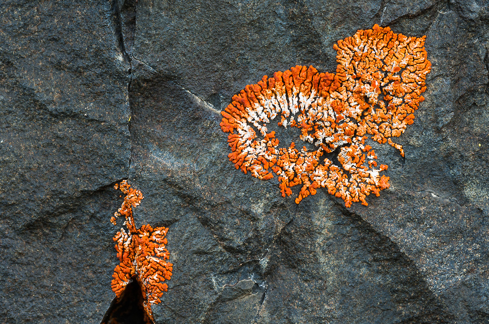 Orange star lichen, July, overcast light, boulder on Blue Mountain, Olympic National Park, Clallam County, Washington, USA