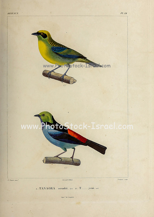 hand coloured sketch Top: green-and-gold tanager (Tangara schrankii [Here as Tanagra scrankii]) Bottom: paradise tanager (Tangara chilensis) [Here as Tanagra yeni]) From the book 'Voyage dans l'Amérique Méridionale' [Journey to South America: (Brazil, the eastern republic of Uruguay, the Argentine Republic, Patagonia, the republic of Chile, the republic of Bolivia, the republic of Peru), executed during the years 1826 - 1833] 4th volume Part 3 By: Orbigny, Alcide Dessalines d', d'Orbigny, 1802-1857; Montagne, Jean François Camille, 1784-1866; Martius, Karl Friedrich Philipp von, 1794-1868 Published Paris :Chez Pitois-Levrault et c.e ... ;1835-1847