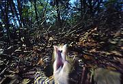 Eastern diamondback rattlesnske striking at camera, northern Florida; threatened species because of shrinking habitat. Deadliest snake in North America.
