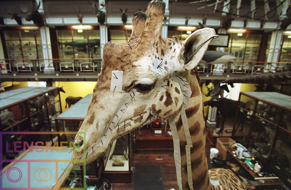 @ The National Museum - Giraffe Shots on Monday 6th January 2005 *** Local Caption *** It is important to note that under the COPYRIGHT AND RELATED RIGHTS ACT 2000 the copyright of these photographs are the property of Lensmen & Associates and they cannot be copied, scanned, reproduced or electronically stored in any form whatsoever without the written permission of Lensmen & Associates.