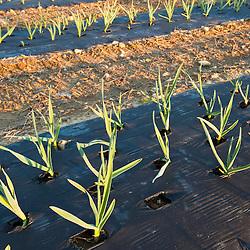 Garlic field at Heron Pond Farm in South Hampton, New Hampshire.