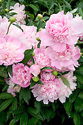 Flower garden of pink peonies at the Lyndale Park Peace Garden.  Minneapolis Minnesota USA