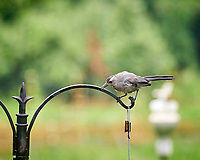 Gray Catbird. Image taken with a Nikon D850 camera and 200 mm f/2 lens