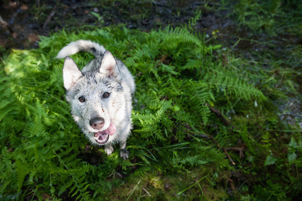 A very dirty young Husky dog sitting in the ferns looking up at the camera