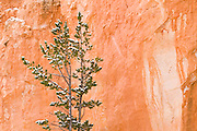 Fresh powder on pine and canyon wall, Bryce Canyon National Park, Utah
