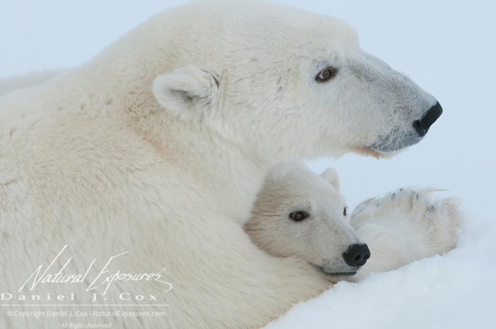 A polar bear cub takes refuge in its mother arms near Churchill, Manitoba, Canada.