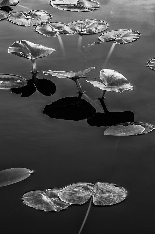 Lilypads, May, Jasper-Pulaski Fish and Wildlife Area, Jasper County, Indiana, USA