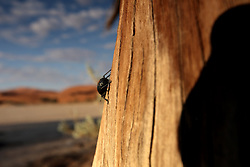 NAMIBIA SOSSUSVLEI 21APR14 - A beetle climbs on a dead trees and sand dunes in the Sossusvlei in the Namib Desert, Namibia.<br /> <br /> Sossusvlei is a salt and clay pan surrounded by high red dunes, located in the southern part of the Namib Desert, in the Namib-Naukluft National Park, which is one of the major visitor attractions of Namibia.<br /> <br /> jre/Photo by Jiri Rezac<br /> <br /> © Jiri Rezac 2014