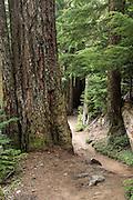 Large Douglas fir on Paradise Trail.