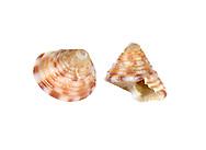 Painted Top Shell - Calliostoma zizyphimum