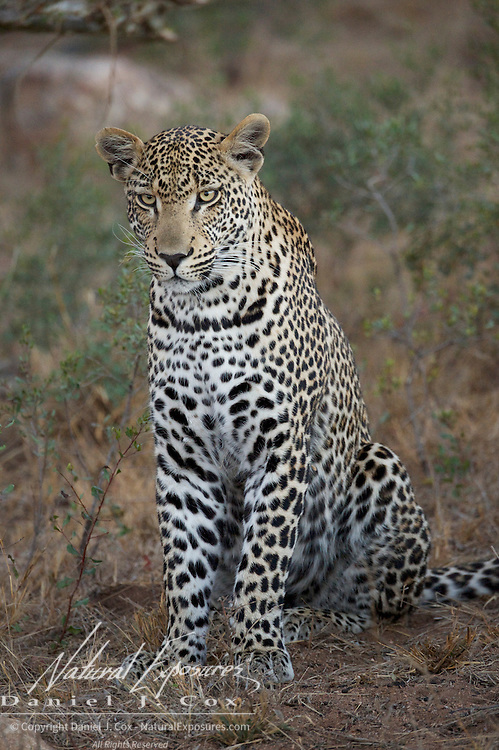 Portrait of female leopard. Timbavati Private Game Reserve. South Africa.