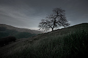 A lone oak tree stands eerily on a hillside of the central California coast.
