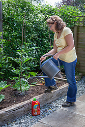Feeding a tomato plant with a liquid fertiliser using a watering can