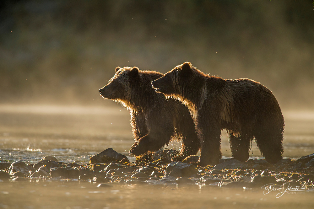 Grizzly bear (Ursus arctos)- Attracted to a sockeye salmon run in the Chilko River, Chilcotin Wilderness, BC Interior, Canada