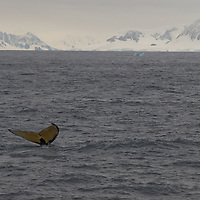A Fin Whale dives near the Antarctica Circle, Antarctica.