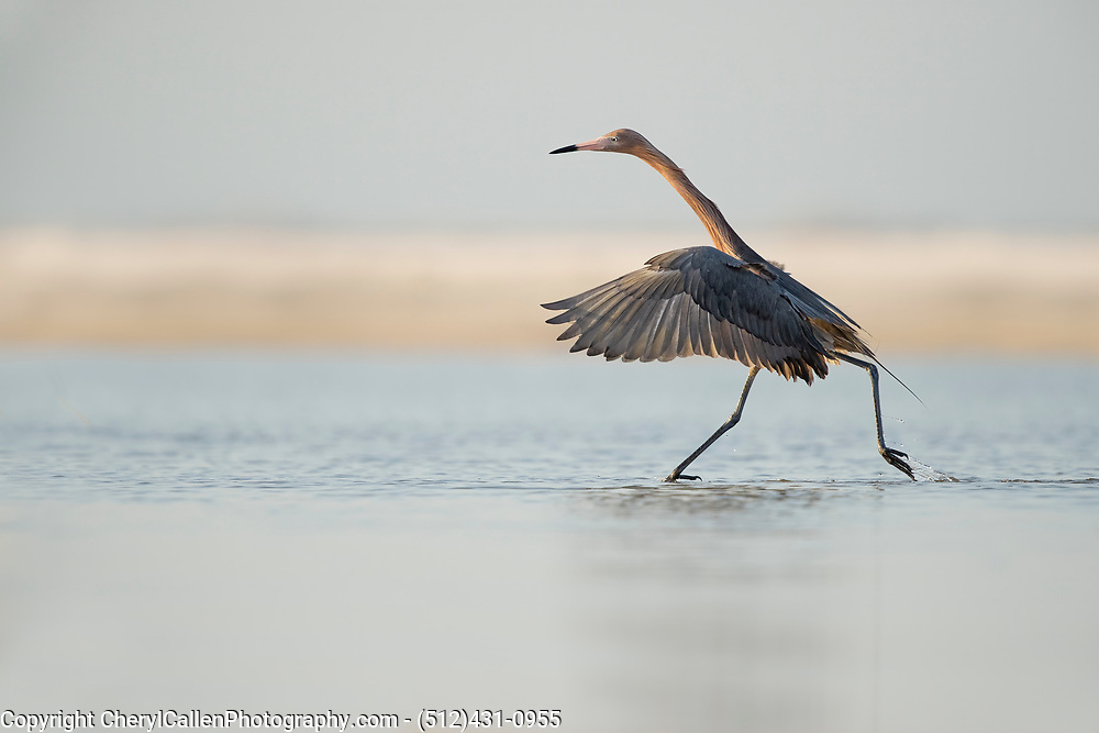 Reddish Egret at sunset hunting for food in shallow water