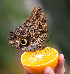 © Licensed to London News Pictures. 31/03/2015. London, UK. An owl butterfly sits on an orange at the Sensational Butterflies exhibition at the Natural History Museum in London. The Sensational butterflies exhibition runs at the Natural History Museum in London from 2 April 2015 to 13 September 2015. Photo credit : Vickie Flores/LNP