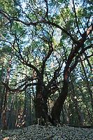 Pacific madrone, Arbutus menziesii. Mendocino County, California