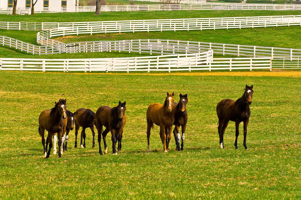 Thoroughbred horses, Monticule Farm, Harp Innis Pike, Lexington, Kentucky USA