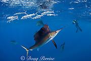 underwater photographer and Atlantic sailfish, Istiophorus albicans, attacking bait ball of Spanish sardines (aka gilt sardine, pilchard, or round sardinella ), Sardinella aurita, off Yucatan Peninsula, Mexico ( Caribbean Sea ) MR 403