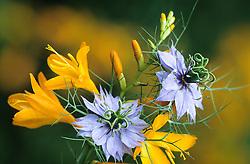 Crocosmia 'George Davison' and Nigella damascena (Love-in-the-mist)