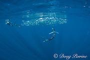 Skip Stubbs shoots video of striped marlin, Tetrapturus audax, feeding on baitball of sardines, Sardinops sagax, off Baja California, Mexico ( Eastern Pacific Ocean ) MR 398