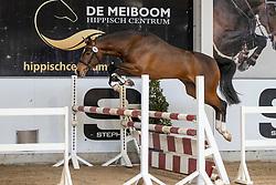010, Wacko van het Jachthof<br /> Hengstenkeuring Brp- Azelhof - Lier  2021<br /> © Hippo Foto - Dirk Caremans<br /> 14/04/2021