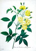 19th-century hand painted Engraving illustration of a Rose Of Bancks (Rosa banksiae) bush, by Pierre-Joseph Redoute. Published in Choix Des Plus Belles Fleurs, Paris (1827). by Redouté, Pierre Joseph, 1759-1840.; Chapuis, Jean Baptiste.; Ernest Panckoucke.; Langois, Dr.; Bessin, R.; Victor, fl. ca. 1820-1850.