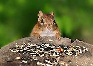 A Very Cute Eastern Chipmunk Preparing To Dine On Bird Seed, Tamias striatus