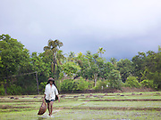 Man working in a rice paddy during the monsoon season, Cochin, Kerala, India