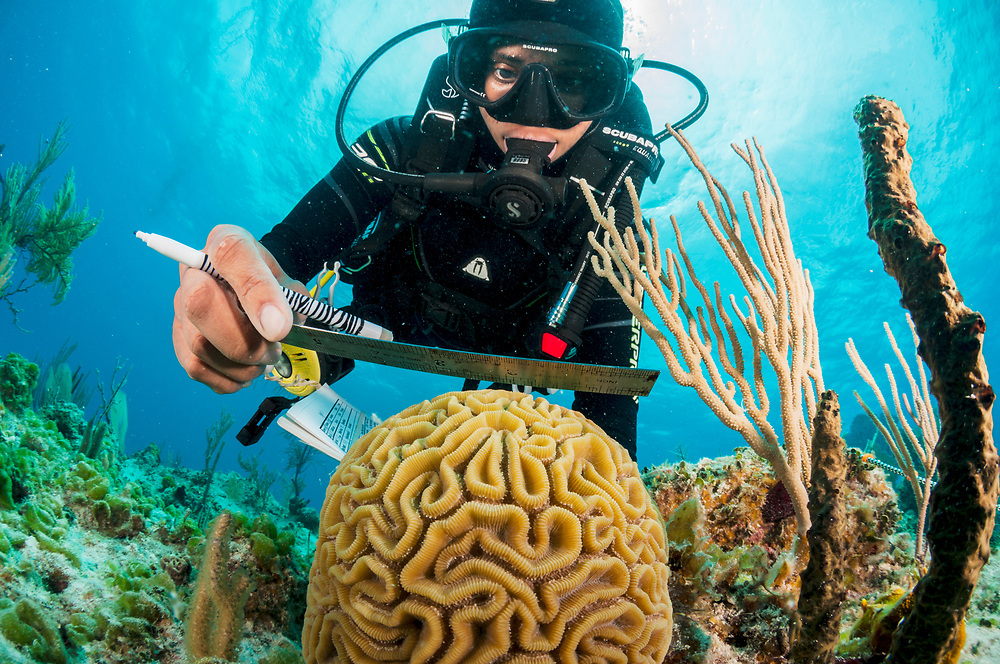 Marine biologist Alannah Vellacott measures a brain coral (Colpophyllia natans) as part of an ongoing program to monitor and restore coral reefs in The Bahamas. Image made off Eleuthera, Bahamas.