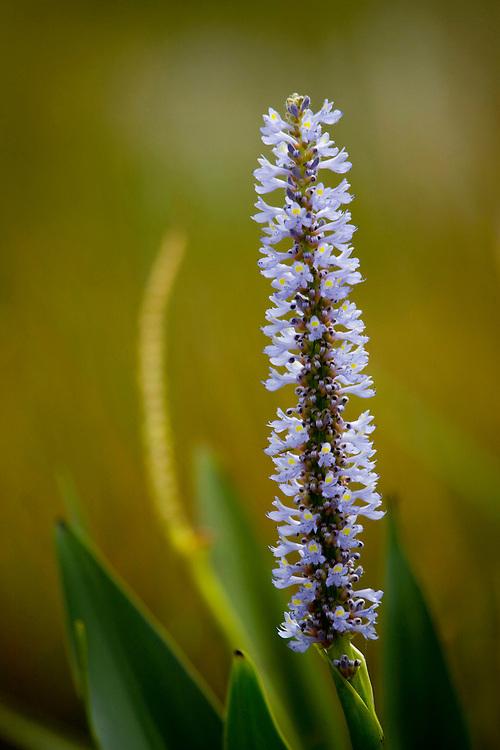 Sao Jose do Rio Preto_SP, Brasil...Programa Biota da Unesp, na foto uma flor...The Biota program of Unesp, in this photo a flower...Foto: JOAO MARCOS ROSA / NITRO