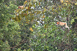 Proboscis monkeys are pictured near the Kinabatangan River, on August 5, 2019 near Sandakan city, State of Sabah, North of Borneo Island, Malaysia. Palm oil plantations are cutting down primary and secondary forests vital as habitat for wildlife including the critically endemic proboscis monkeys. Photo by Emy/ABACAPRESS.COM