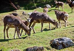 23.04.2011, Wildpark Ferleiten, AUT, Wildpark Ferleiten, im Bild mehrere Gemse beim grasen // several chamois grazing, EXPA Pictures © 2011, PhotoCredit: EXPA/ J. Feichter