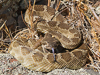 """Northern Pacific rattlesnake, Crotalus viridis oreganus, in a defensive posture, flicks out its tongue to """"taste"""" the air with its Jacobson's organ. Mount Diablo State Park, California"""