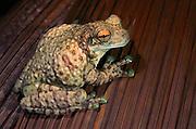 Amazon milk frog (Phrynohyas resinifictrix)<br /> Amazon<br /> ECUADOR. South America