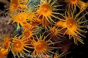golden zoanthids, Parazoanthus swiftii, encrusting green finger sponge, Iotrochota birotulata; sponge provides substrate for zoanthids & zoanthids protect sponge with chemical defenses, Dominica ( Caribbean Sea )