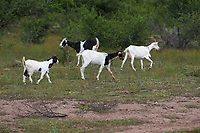 Goats grazing in the hills above San Juan Cosala, Jalisco, Mexico