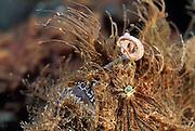Hairy frogfish or Striated frogfish (Antennarius striatus) with lure. They are mostly bottom-dwelling fishes that are well camouflaged; they employ the first dorsal spine as a fishing lure to attract prey. | Haariger Anglerfisch (Antennarius striatus) mit Lockorgan - Anglerfische leben im flachen Wasser tropischer und subtropischer Meere. Sie sind schuppenlos und zeigen als typisches Merkmal eine aus dem ersten Hartstrahl der Rückenflosse gebildete ?Angel? (Illicium) mit anhängendem Köder (Esca) |