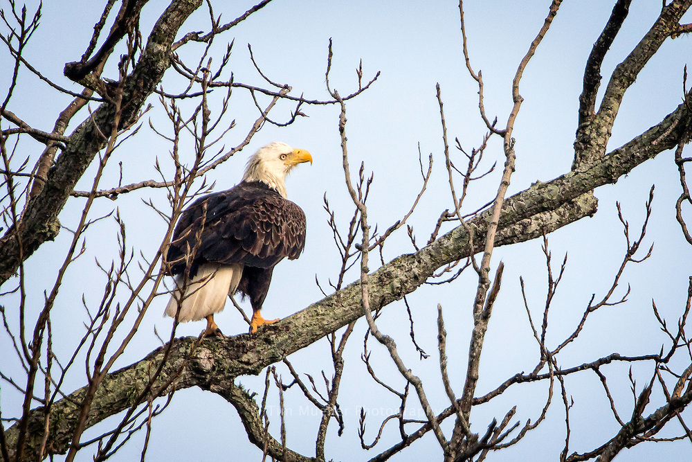 An American bald eagle nests near River Road in Baton Rouge, Louisiana.