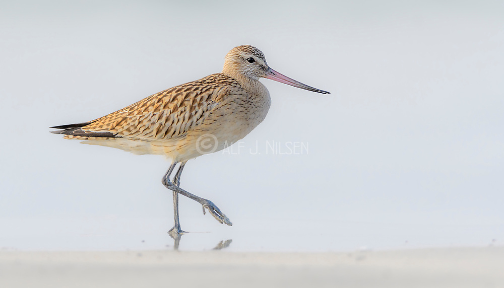 Bar-tailed Godwit (Limosa lapponica) at Revtangen, (Rogaland, western Norway) in September.