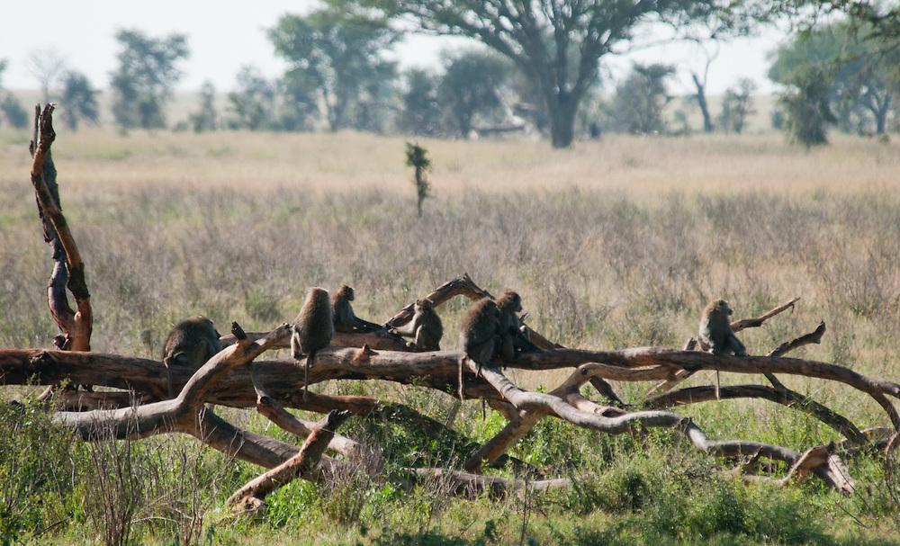 Baboon family - Tumbili