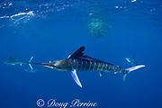 striped marlin, Kajikia audax (formerly Tetrapturus audax ), with sardine in mouth, while feeding on baitball of sardines or pilchards, Sardinops sagax, off Baja California, Mexico ( Eastern Pacific Ocean ) (dm)
