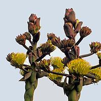 North America, Mexico, Baja California, Ensenada.  The Desert Agave plant blooms along the slopes of Baja California.